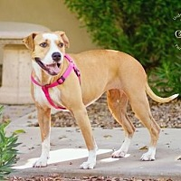 Adopt A Pet :: ROXY 4 - Chandler, AZ