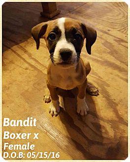 Boxer Mix Puppy for adoption in DeForest, Wisconsin - Bandit
