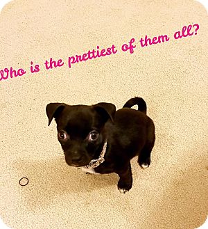 Pug/Chihuahua Mix Puppy for adoption in Va Beach, Virginia - Nellie
