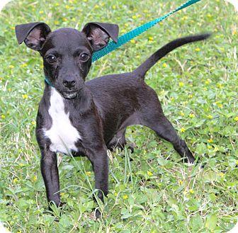 Miniature Pinscher Mix Puppy for adoption in Monroeville, Pennsylvania - DANIEL