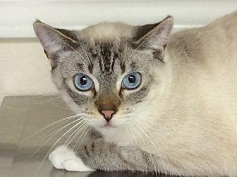 Domestic Shorthair Kitten for adoption in Hollister, California - Snowball