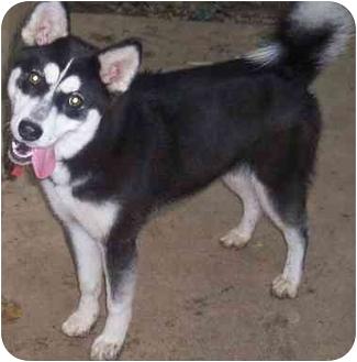 Husky/Shiba Inu Mix Dog for adoption in Haverhill, Massachusetts - Sheba