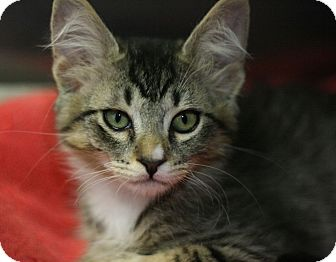 Domestic Shorthair Kitten for adoption in Canoga Park, California - Mikey