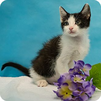 Domestic Shorthair Cat for adoption in Houston, Texas - Raymond