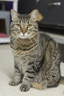Domestic Shorthair Cat for adoption in Whitehall, Pennsylvania - Amber