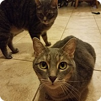 Domestic Mediumhair Cat for adoption in Clay, Michigan - Brave and Bandit
