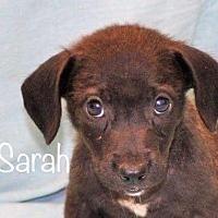 Adopt A Pet :: Sarah - Palatine/Kildeer/Buffalo Grove, IL