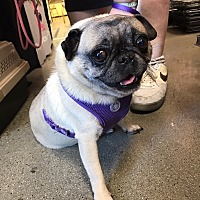 Adopt A Pet :: Pugsy - Cerritos, CA