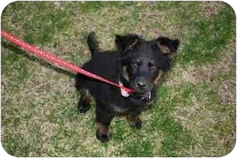 Australian Shepherd/German Shepherd Dog Mix Puppy for adoption in Arlington, Tennessee - Layla**UPDATE!**