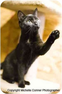 Domestic Shorthair Kitten for adoption in Bloomsburg, Pennsylvania - Willow