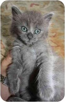RagaMuffin Kitten for adoption in Davis, California - Puff Ball