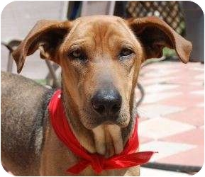 Hound (Unknown Type) Mix Dog for adoption in Stephenville, Texas - Lily