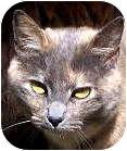 Domestic Shorthair Cat for adoption in Crescent City, California - CLOE