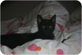 Domestic Shorthair Kitten for adoption in Irvine, California - Bashful