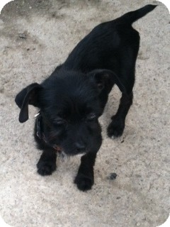Yorkie, Yorkshire Terrier/Chihuahua Mix Puppy for adoption in Houston, Texas - Mollie