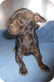 Chihuahua Mix Dog for adoption in Yuba City, California - 10/30 Midnight