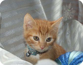 Domestic Shorthair Kitten for adoption in Berlin, Connecticut - Klaus