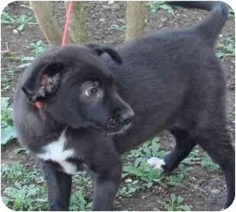 Labrador Retriever Mix Puppy for adoption in Brenham, Texas - Hope