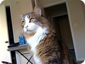 Domestic Longhair Cat for adoption in Winder, Georgia - *Nigel