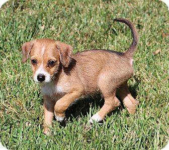 Beagle/Jack Russell Terrier Mix Puppy for adoption in La Habra Heights, California - Murphy