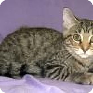 Domestic Shorthair Cat for adoption in Powell, Ohio - Gavin