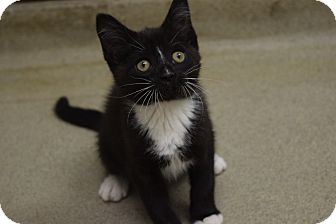 Domestic Shorthair Kitten for adoption in Bucyrus, Ohio - Up Til Midnight