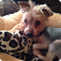 Adopt A Pet :: Maya - Butler, OH