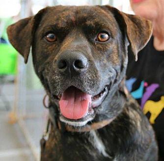 Mountain Cur Mix Dog for adoption in Brownsboro, Alabama - Luke
