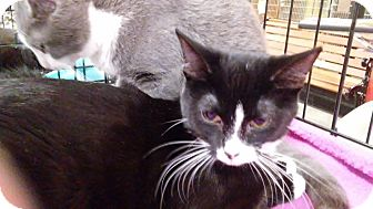 Domestic Shorthair Kitten for adoption in Columbus, Ohio - Bagel