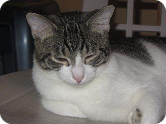 Domestic Shorthair Cat for adoption in Ridgway, Colorado - Milan