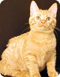Domestic Shorthair Cat for adoption in Newland, North Carolina - Trucker