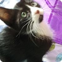 Adopt A Pet :: Figaro - North Highlands, CA