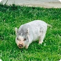 Pig (Potbellied) for adoption in Elyria, Ohio - KEVIN BACON