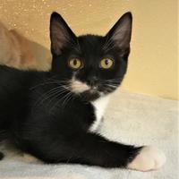 Domestic Shorthair/Domestic Shorthair Mix Cat for adoption in Lynchburg, Virginia - Berkshire