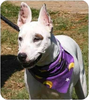Bull Terrier Mix Dog for adoption in Claymont, Delaware - Petra