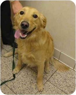 Golden Retriever Dog for adoption in Cleveland, Ohio - Jack