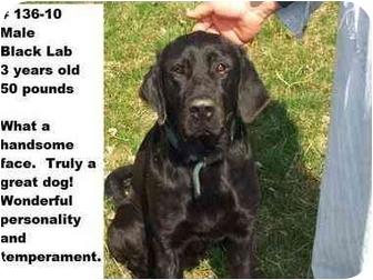 Labrador Retriever Mix Dog for adoption in Zanesville, Ohio - # 136-10 - RESCUED!