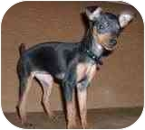 Miniature Pinscher/Chihuahua Mix Dog for adoption in Las Vegas, Nevada - TIMMY AKA TIMOTHY