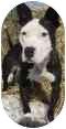 American Pit Bull Terrier Mix Dog for adoption in Olathe, Kansas - Felix