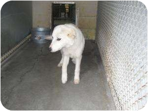 Husky/Retriever (Unknown Type) Mix Dog for adoption in Henderson, North Carolina - Oliver