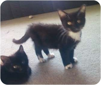 Domestic Mediumhair Kitten for adoption in Kirkwood, Delaware - Toesy