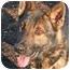 Photo 3 - German Shepherd Dog Mix Dog for adoption in Islip, New York - Jasper