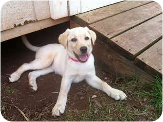 Labrador Retriever Puppy for adoption in Astoria, New York - Sophie