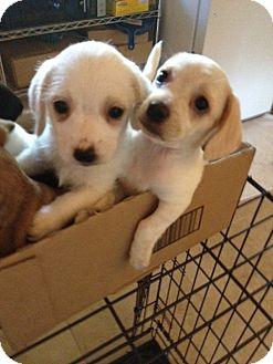 Cocker Spaniel/Maltese Mix Puppy for adoption in Gustine, California - Cocker/Maltese Mix  PUPS