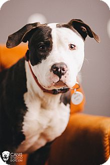 American Pit Bull Terrier Dog for adoption in Portland, Oregon - Ice