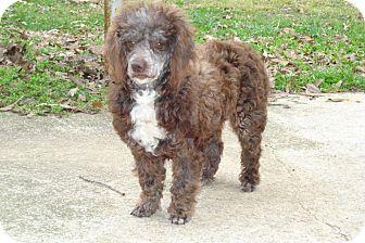 Poodle (Miniature) Dog for adoption in ROCKMART, Georgia - COCO