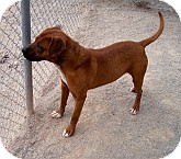 Pit Bull Terrier/American Bulldog Mix Dog for adoption in Silver City, New Mexico - Winston