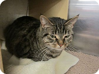 Domestic Shorthair Cat for adoption in Warminster, Pennsylvania - Bluebell