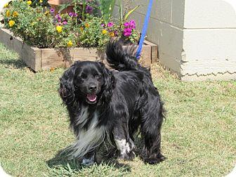 Cocker Spaniel/Spaniel (Unknown Type) Mix Dog for adoption in Nashville, Tennessee - MALONE