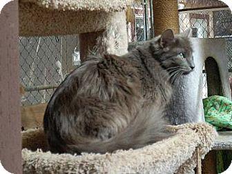 Domestic Mediumhair Cat for adoption in El Dorado Hills, California - Harmony